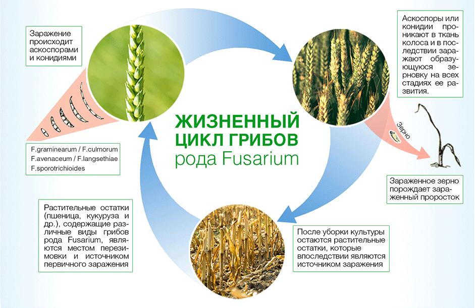 Фузариоз зерна